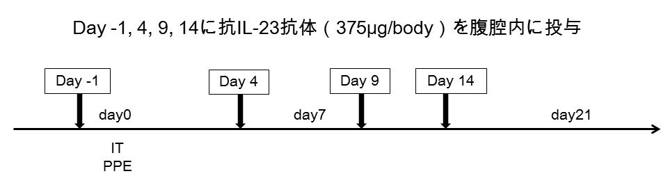 エラスターゼ誘導肺気腫モデル1
